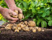 Когда выкапывать картошку
