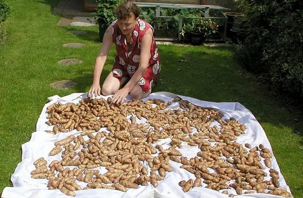 женщина перебирает картошку